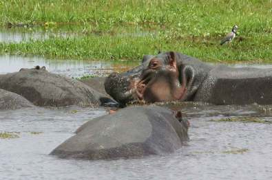 Kenya, Parque Nacional Amboseli, hipopótamos.
