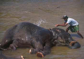 Sri Lanka, Pinnawela, Orfanato de Elefantes, animal