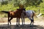 Horses - pet