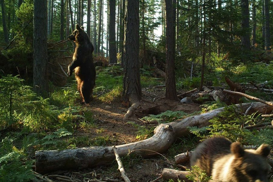 Balkani_CT Bears