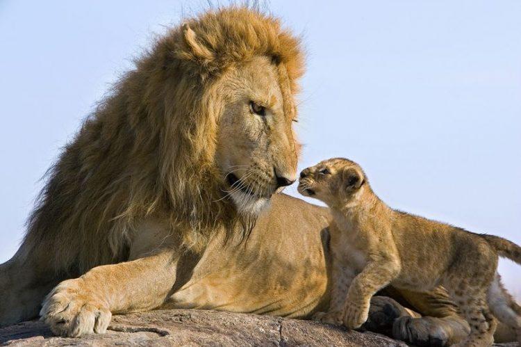 лъв с лъвче