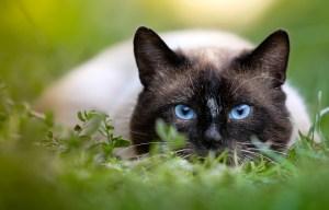 ловуваща котка