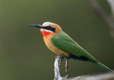 european-bee-eater-bird-1200x798