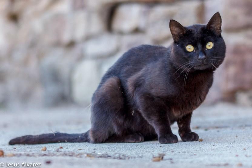 black cat-1