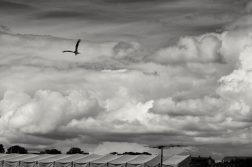 Fugletræk over byens tage. Rød glente