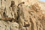 Rezerwat En Gedi - góralki syryjskie