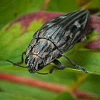 Miedziak sosnowiec (Chalcophora mariana)