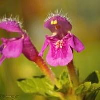Poziewnik miękkowłosy (Galeopsis pubescens)
