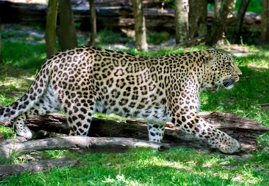 Юный натуралист переднеазиатский леопард