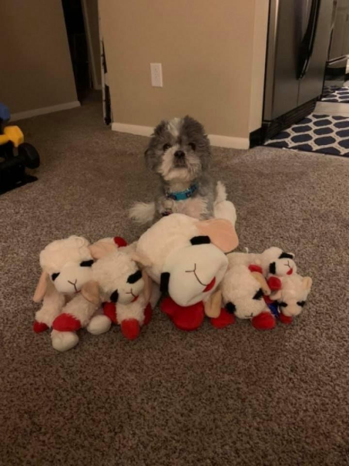 Murphy quando filhote e os seus brinquedos. (Foto: Emily Huggins via Dogspotting Society)