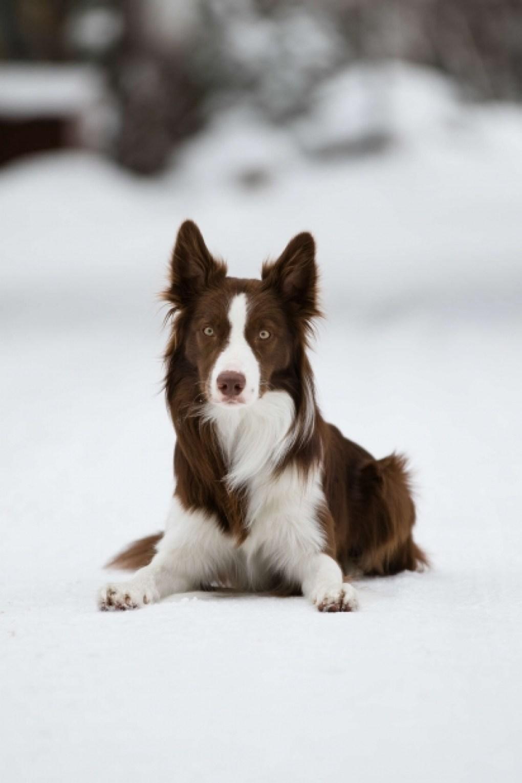 Baloo é um cão da raça border collie de dois anos.
