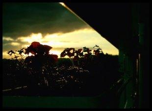 Geranien im Sonnenuntergang