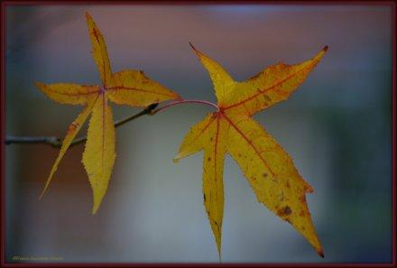 foglie d'acero....