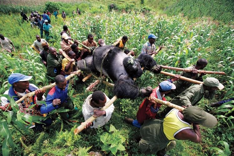 """Gorila en el Congo"""" (Brent Stirton, República del Congo, 2007)"""