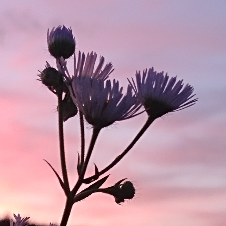 Flower silouette in the sunset sky