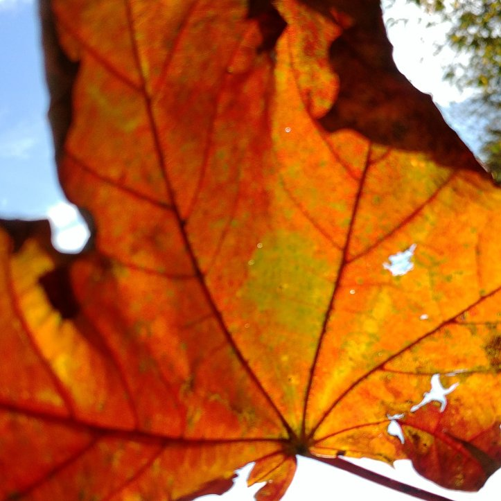Photo of a yellow and bright red autumn leaf