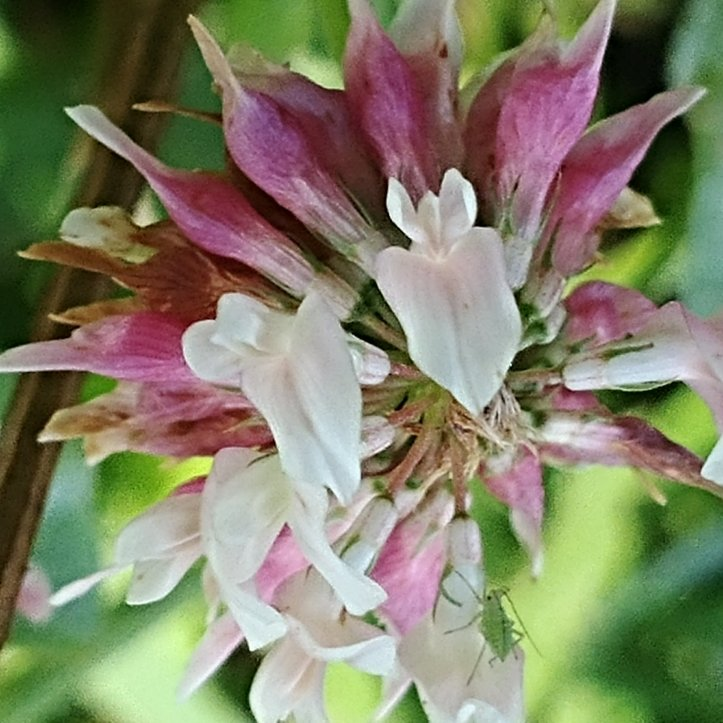 Macro photo of a pink and white clover flower with a tiny green insect.
