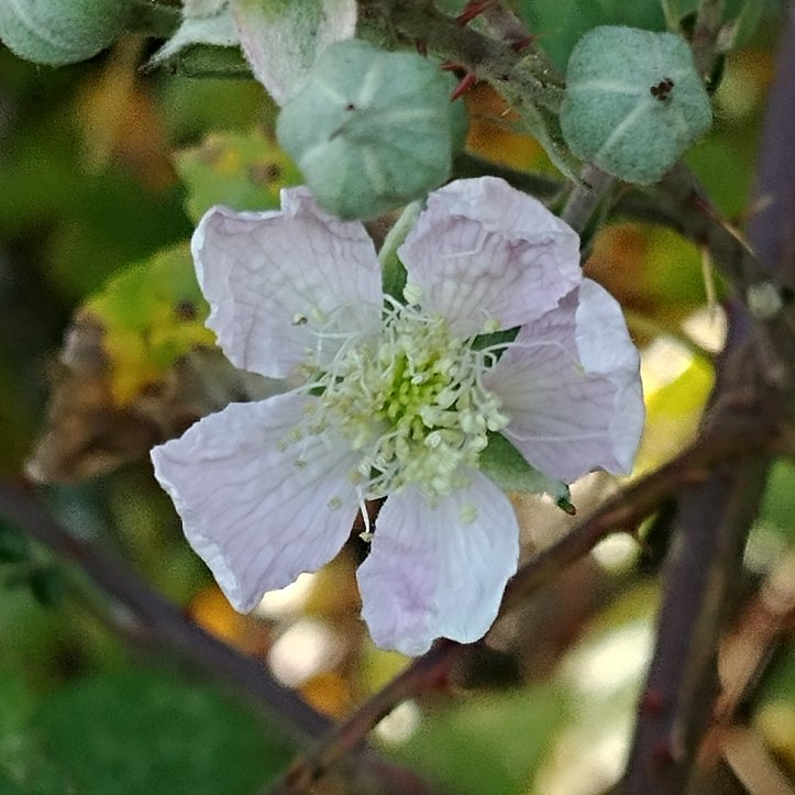 Light pink blackberry blossom with beautiful bokeh