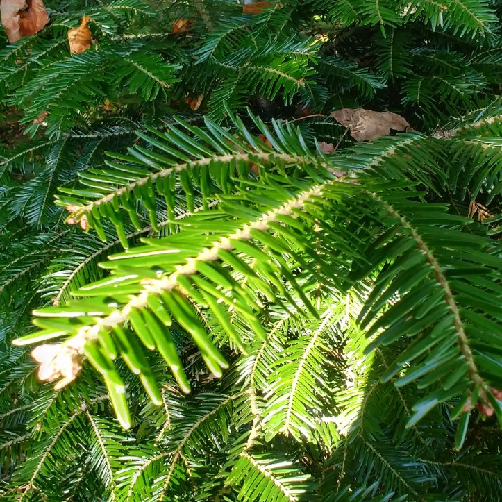 The evergreen tree don't looses his needles in the winter months.