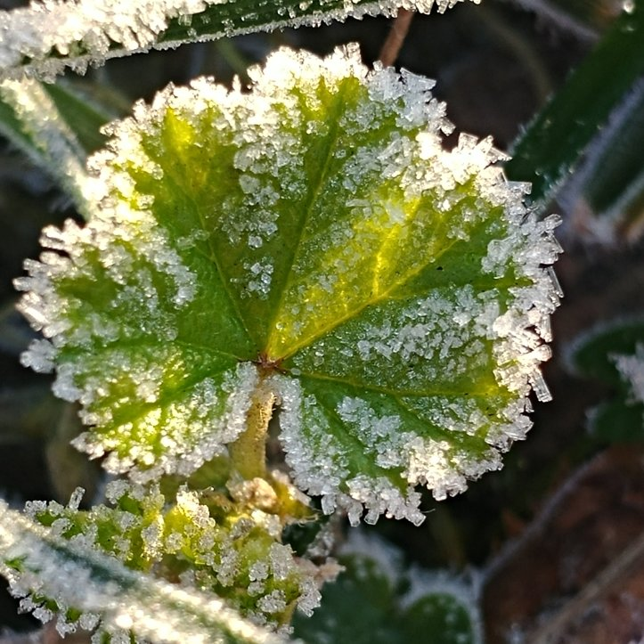 Sunlight on a green leaf with rime ice, macro photo by Karin Ravasio