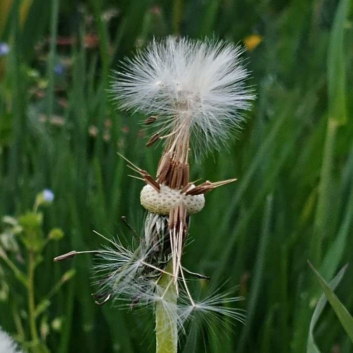 White dandelion with dandelionseeds, flower photo by fotosbykarin