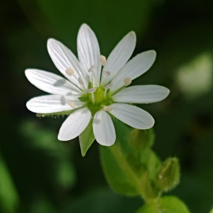Little white wildflower, nature photo by fotosbykarin