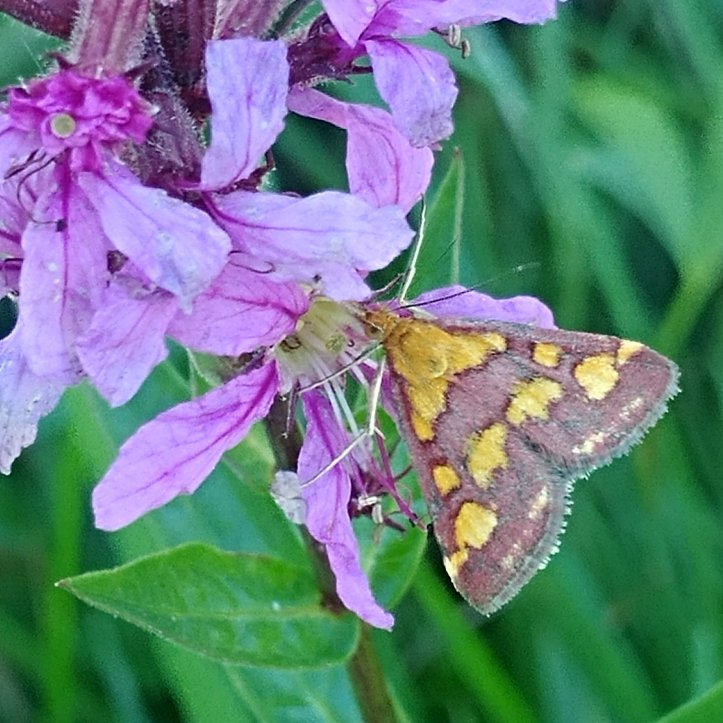 Yellow dotted moth on purple flower, nature photo by Karin Ravasio