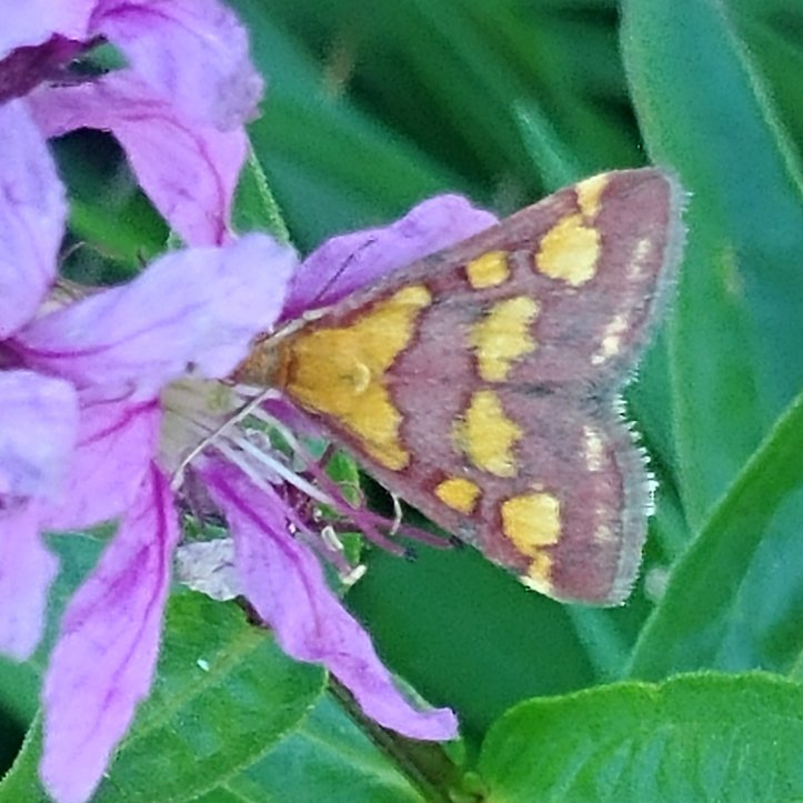 Yellow dotted moth on purple flower in green grass, nature photography by fotosbykarin