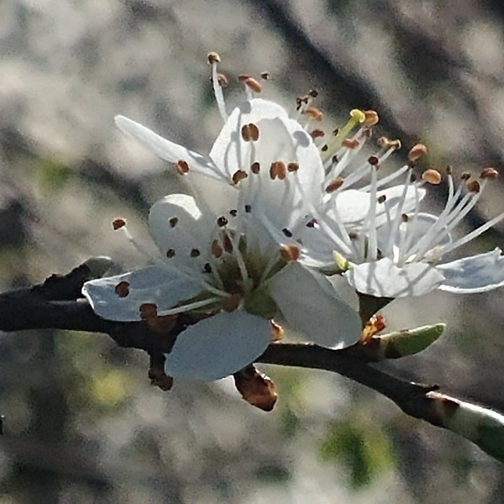 Beautiful white spring bloom, nature photography by fotosbykarin