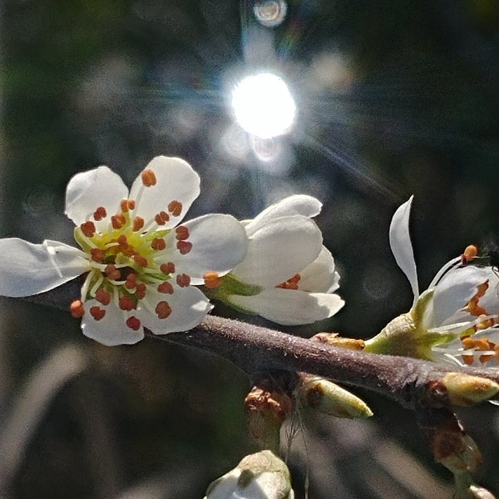 Spring blossoms and reflecting sunrays, nature photo by fotosbykarin