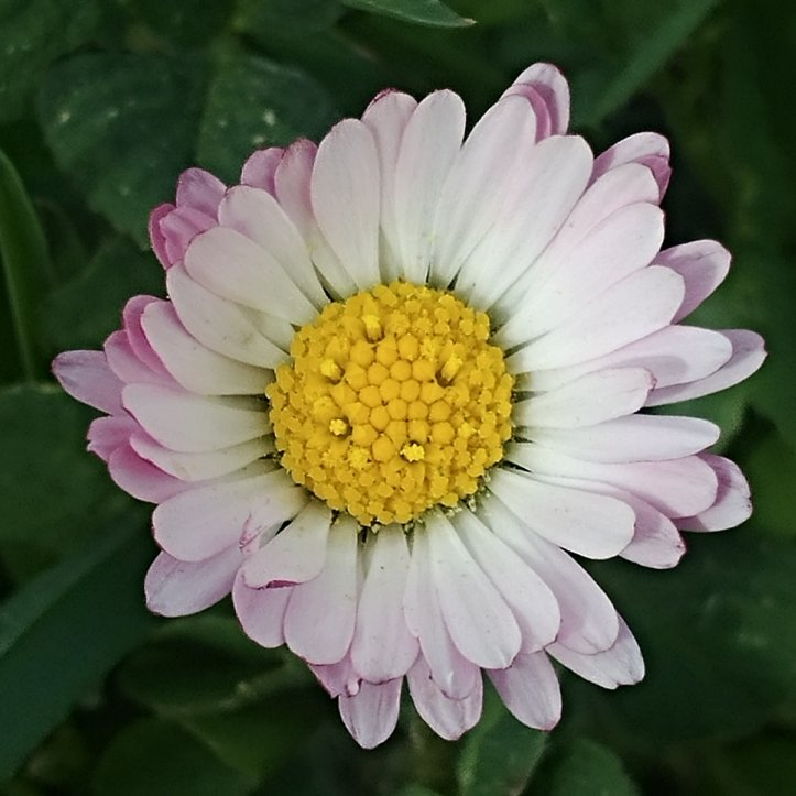 Pretty daisy for mothers day, nature photo by fotosbykarin