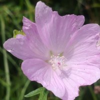 Pastel pink colored flowers