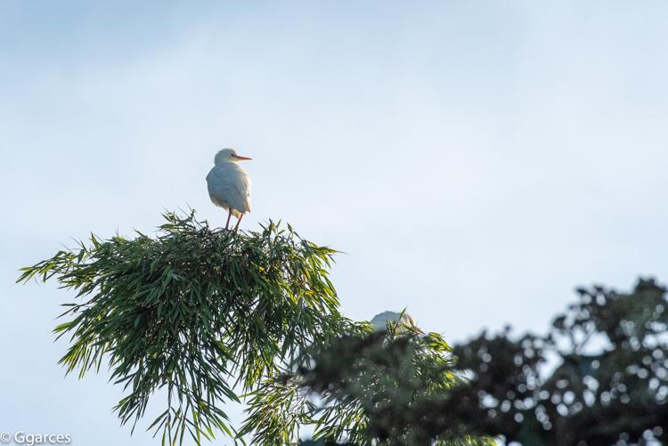 Garcita blanca en su nido
