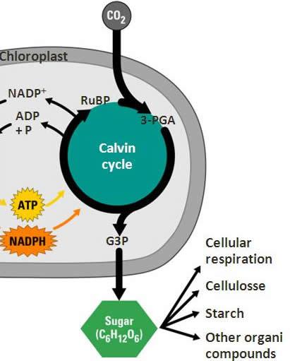 Reaksi Terang Dan Reaksi Gelap Pada Fotosintesis : reaksi, terang, gelap, fotosintesis, Penjelasan, Reaksi, Gelap