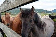 Eine Herde Island Pferde im Freien