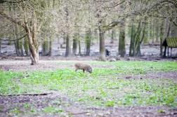 Junges Wildschwein auf Erkundungstrour durch den Tierpark