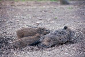 Die jungen Wildschweine haben einen ordentlichen Hunger.