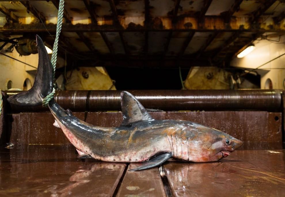 Тихоокеанская сельдевая акула