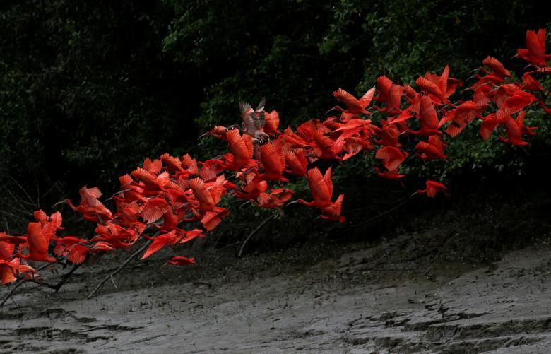 Красные ибисы