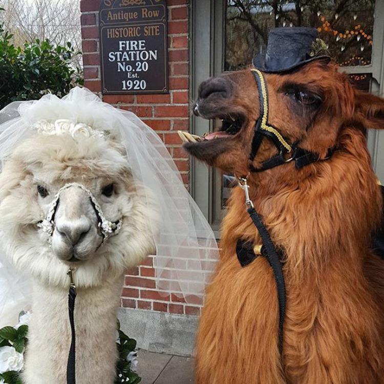 Лама и альпака