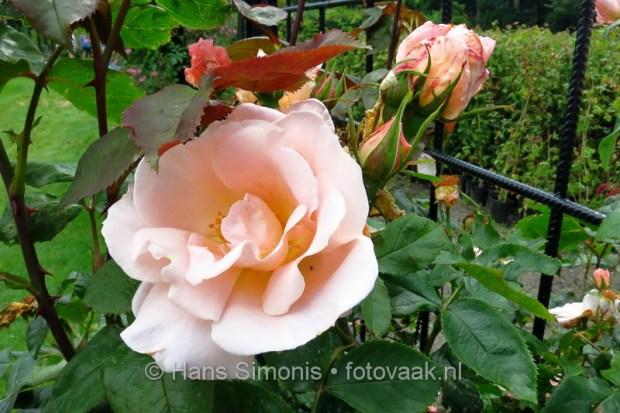 140606_16_westbroekpark_rosarium