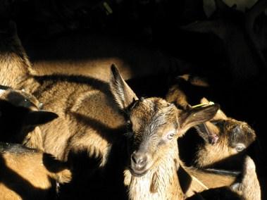 Couché de soleil dans la chèvrerie