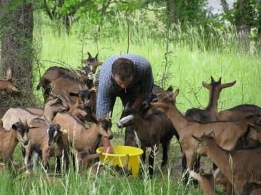 Les chèvres pâturent