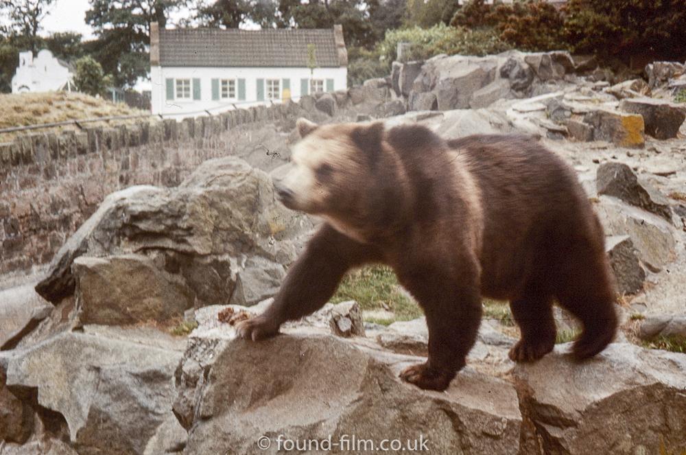 Large brown bear