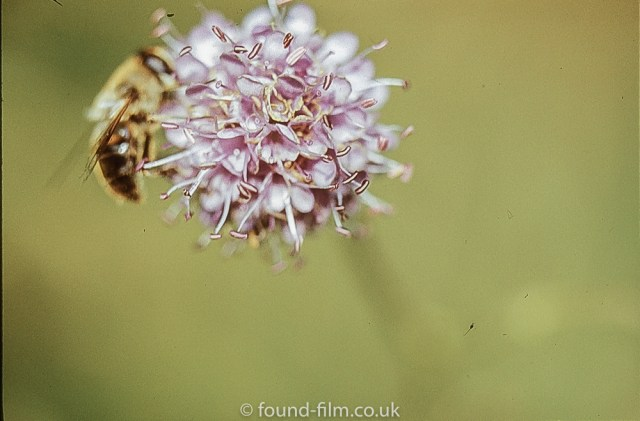 Macro photos on film - Bee or hoverfly