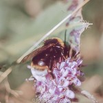 Macro photos on film - Bumble bee