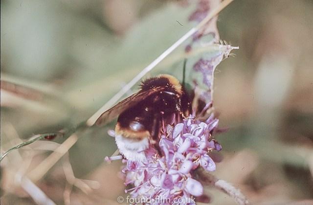 Macro photos on film - Bumble bee