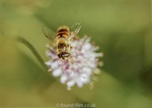 Macro photos on film - Hoverfly