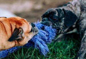 two dogs playing tug of war with a blue rope toy