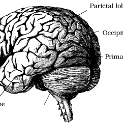 Frontal Brain Diagram No Labels Prs Wiring Push Pull Foundations Of Vision  Chapter 6 The Cortical Representation